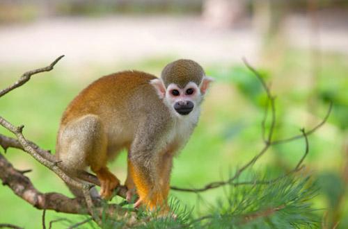 amazon-rainforest-squirrel-monkey.jpg