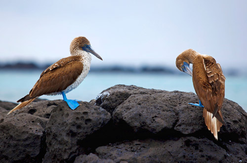 ecuador-blue-footed-boobies.jpg
