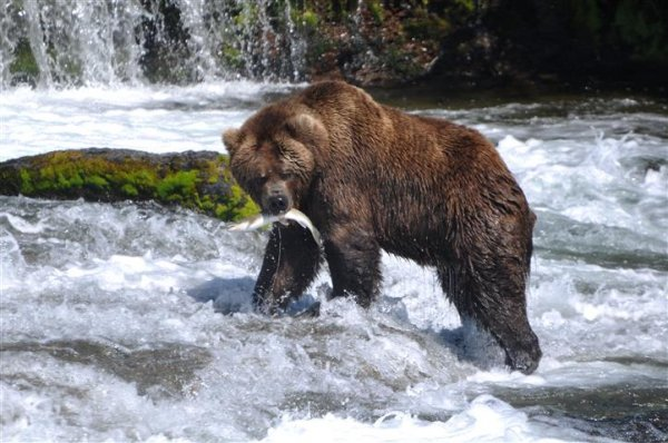 grizzly-fishing-river.jpg