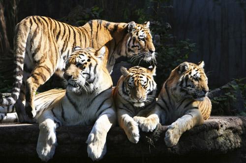 india-tigers.jpg