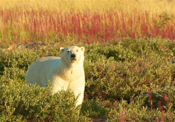 polar-bear-viewing-churchill-manitoba.jpg