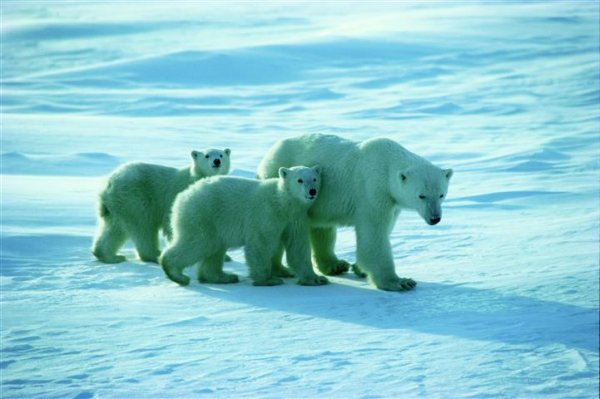 polarbear-viewing-churchill-manitoba.jpg