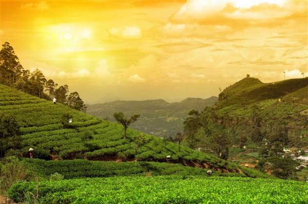 tea plantation_172176446 (Small).jpg